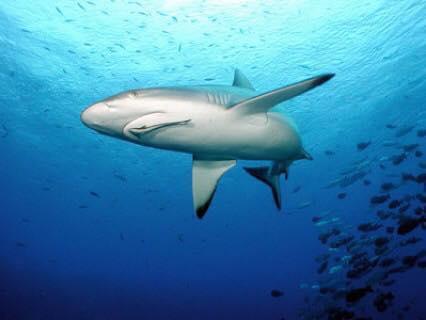 Sụn vi cá mập là gì? loại nào tốt và mua ở đâu uy tín1